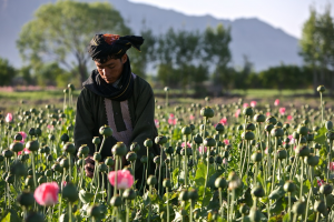 Afghan Poppy picture